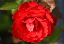 vorm roos rood